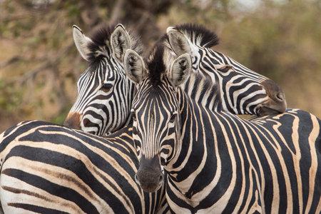 Plain zebra close up in Kruger national Park Imagens