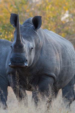 White rhinoceros or square-lipped rhinoceros (Ceratotherium simum) close up in Kruger national park