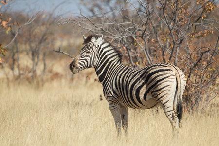Plain zebra in Kruger national Park Imagens