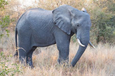 Elephant in Kruger national park Imagens