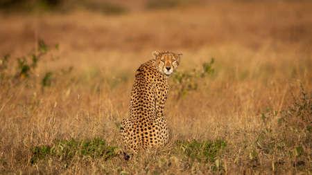 Cheetah looking at camera (Acinonyx jubatus), Masai Mara Reserve, Kenya 版權商用圖片