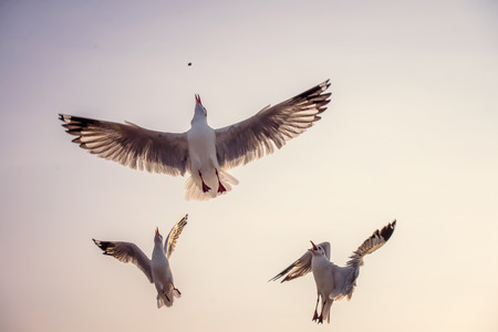 compete: Seagull compete for food.