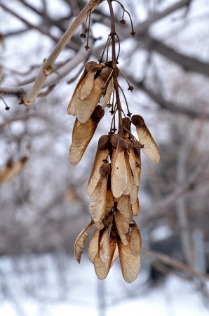 seed of acacia in winter