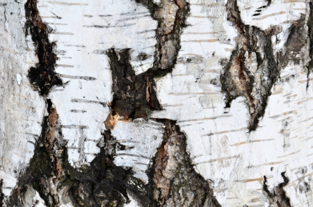 texture of tree is a birch