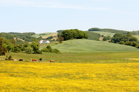 Yellow Fields in Germany with Horses Photograph