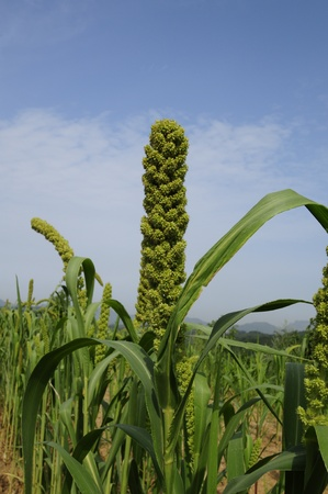 In the fields of full millet in summer  Stock Photo