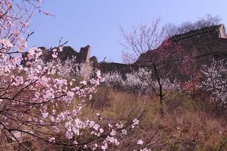 Peach blossom full of incense the Great Wall photo