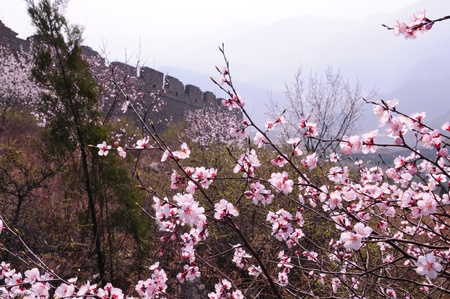 Peach blossom full of incense the Great Wall Stock Photo - 13045585
