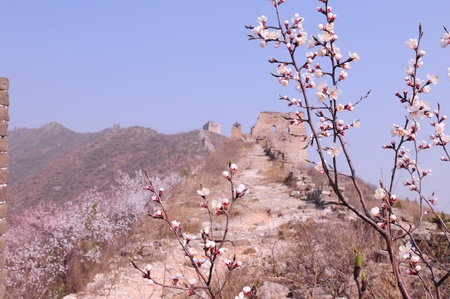 Peach blossom full of incense the Great Wall Stock Photo - 13045555