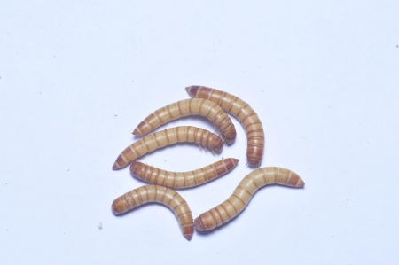 taxonomy: Yellow powder insect and that bread worm, taxonomy in insects belonging to coleoptera, quasi carabidae, powder insect a genera  The origin of North America, 50 s introduced from the Soviet union in breeding, yellow powder insect stem article fat 30 , prot Stock Photo