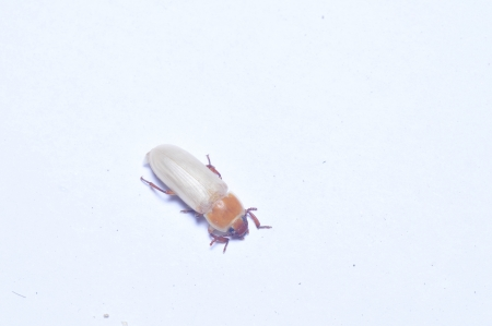 carabidae: Yellow powder insect and that bread worm, taxonomy in insects belonging to coleoptera, quasi carabidae, powder insect a genera  The origin of North America, 50 s introduced from the Soviet union in breeding, yellow powder insect stem article fat 30 , prot Stock Photo