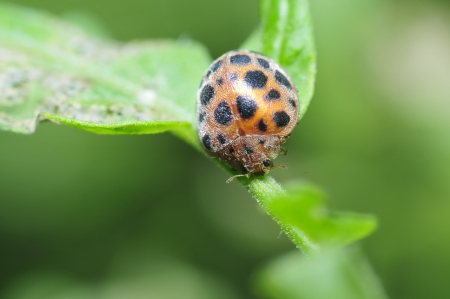 Lady beetles falls on a leaf  Stock Photo
