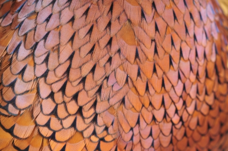 Texture pheasant feather   photo