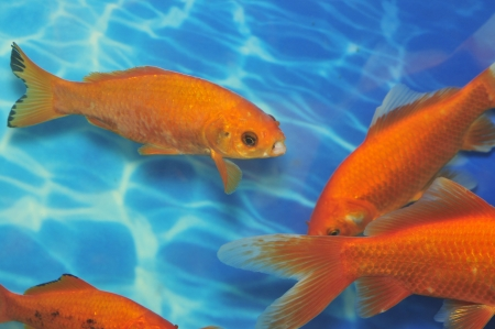 Beautiful fish swim together  Stock Photo - 16530520
