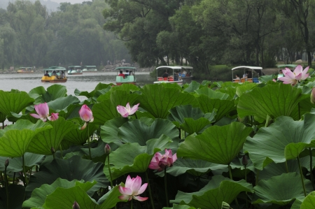 aquatic herb: Lotus, lotus and name, water lotus, lotus of aquatic perennial herb, flowers and plants.