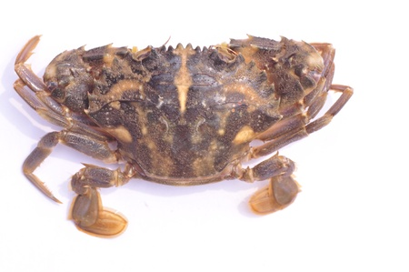 arthropod: Crab  pangxie    animalia, arthropod door, carapace outline, decapoda, crawl suborder  Crab is crustaceans  crustacean  Stock Photo