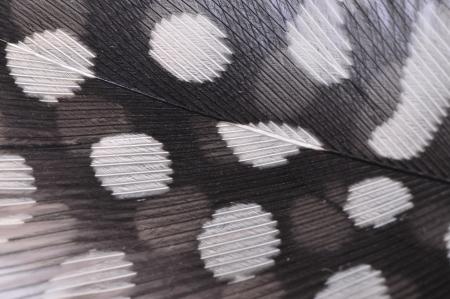 fowl: Guinea fowl feathers