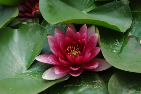 Water lily   Stock Photo - 18045149