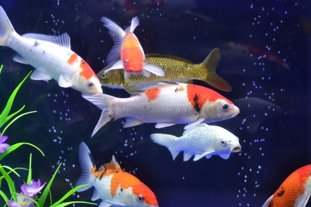 aquatic products: goldfish