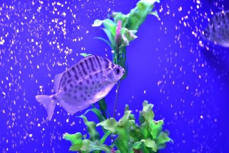 aquatic products: goldfish