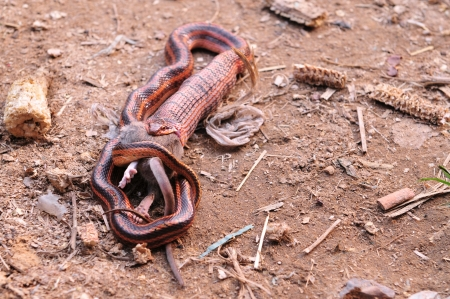 devour: Snakes are eating mice