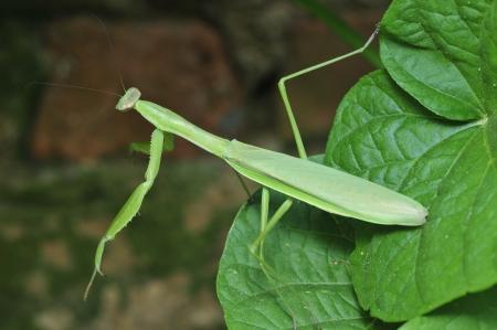 invertebrates: Mantis (mantis) also say the DaoLang, invertebrates.