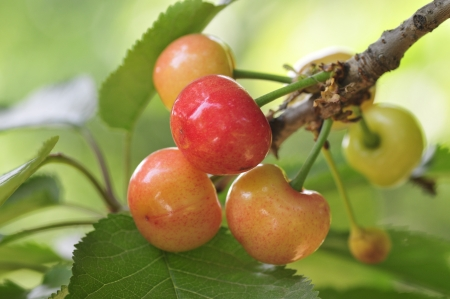 activ: Large cherry in the north is deciduous fruit tree trunk China cherry fruit mature after the first fruit tree species  Traditional Chinese medicine  TCM  think, big cherry pick has attune of tonifying qi qufeng wet function  Agricultural experts say  activ