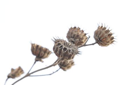 upu: Close upu of plant named abutilon
