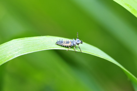 larvae: Ladybug larvae Stock Photo
