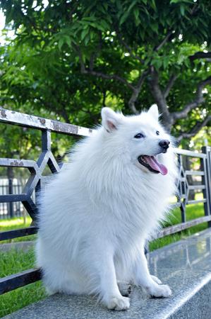 silver fox: Raza zorro plateado Blanca