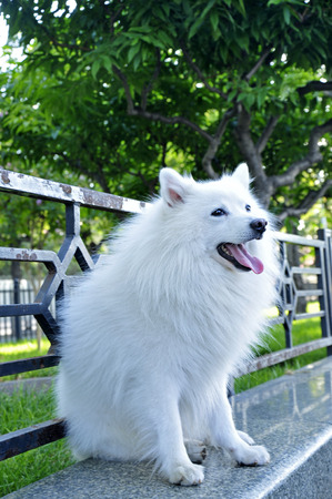 silver fox: White silver fox breed