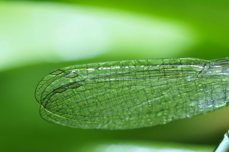 bionics: The wings of a dragonfly