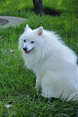 silver fox: Un blanco raza zorro plateado en la naturaleza