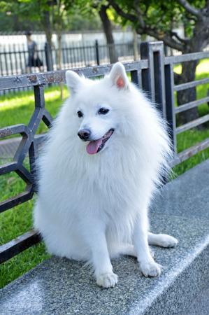silver fox: white silver fox breed Stock Photo