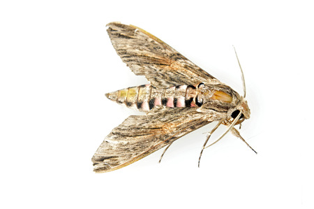sphingidae: A moth on a white background