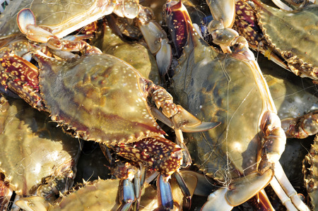 edible: Fresh edible sea crab Stock Photo