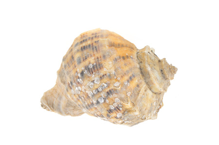 sea fans: Conch on a white background