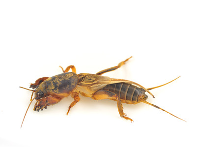 mole: Mole cricket isolated on white background (Gryllotalpidae)