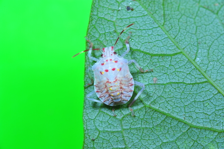beneficial insect: Stink bug, a kind of insect