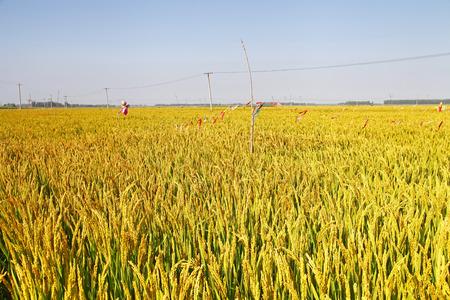 rice fields: The autumn rice fields