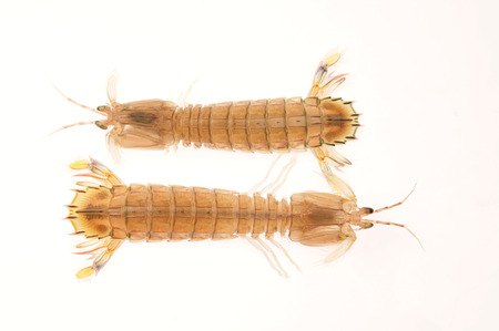 mantis: Mantis Shrimp