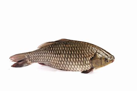 crucian carp: Crucian carp