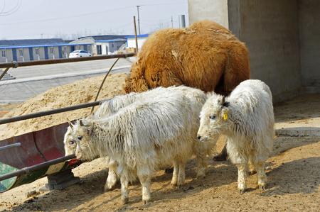 yak: yak Stock Photo