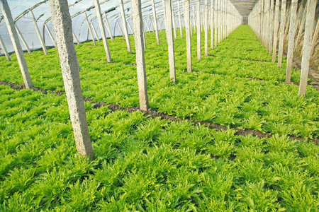 soilless cultivation: Lettuce grown in a plantation Editorial