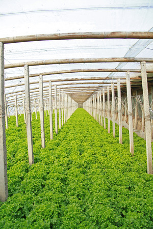 soilless cultivation: Lettuce grown in a plantation Stock Photo