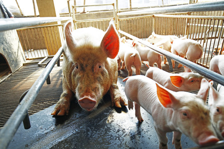 lactation: The farm pigs