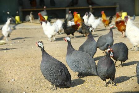 guinea fowl: The courtyard guinea fowl Stock Photo