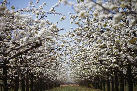 arboles frutales: Pear flor