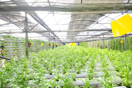 soilless cultivation: Celery planted on a plantation, qinhuangdao city, China