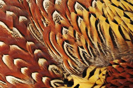Texture pheasant feather